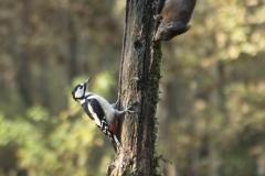 DSC_natuur-eekhoorn-en-specht