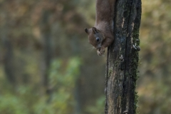 DSC_natuur-eekhoorn