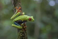 MD_natuur-kleurrijke-kikker